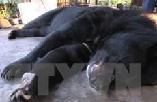 4 cá thể gấu ngựa chết chưa rõ nguyên nhân tại Đồng Nai