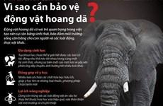 [Infographics] Vì sao cần bảo vệ động vật hoang dã?