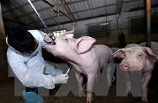 Virus tả lợn châu Phi bị tiêu diệt ngay ở nhiệt độ 100 độ C