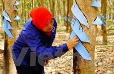 Hiệu quả từ dự án trồng cây cao su của Việt Nam tại Campuchia