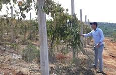 Công an điều tra vụ hủy hoại 2.000 gốc chanh dây ở Gia Lai