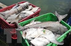 Bà Rịa-Vũng Tàu: Cá biển nuôi lồng bè lại chết hàng loạt