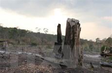 Gia Lai chỉ đạo làm rõ vụ chặt hạ trái phép gỗ hương quý hiếm