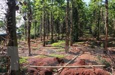Bình Phước: Hồ tiêu chết và rớt giá, nhà nông tìm hướng đi mới