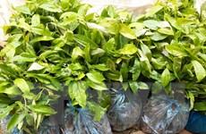 Lạng Sơn: Thanh tra dự án cây giống nghi vấn sai phạm tại Bình Gia