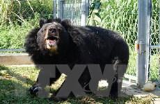 'Ngôi nhà' giúp hồi sinh những chú gấu bị nuôi nhốt lấy mật