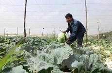 Nguồn cung thiếu hụt trầm trọng, rau Đà Lạt tăng giá gấp rưỡi