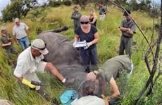 Nam Phi cứu tê giác bằng phương pháp tiêm thuốc độc vào sừng