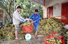 Vải lai trứng Phù Cừ được mùa, được giá, mang lại nguồn thu lớn