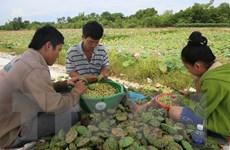 Sen bị chết hàng loạt ở Thừa Thiên-Huế, thiệt hại hàng tỷ đồng