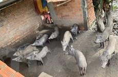 Dịch tả lợn châu Phi xuất hiện tại trang trại quy mô 20.000 con