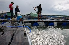Vũng Tàu: Cá nuôi lồng bè trên sông Chà Và lại chết hàng loạt