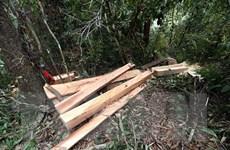 Bình Phước: Bắt giữ, xử lý nhóm đối tượng trộm 52 cây gỗ quý