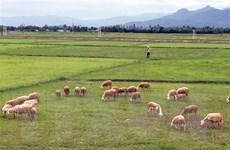 Nghệ An: Sét đánh chết đàn bò 11 con nuôi thả tự do