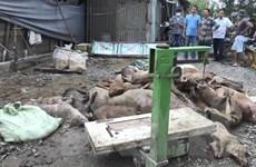 TP.HCM: Hàng trăm xác lợn nhiễm bệnh bị vứt bừa bãi gây ô nhiễm