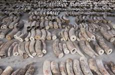 Singapore cấm hoàn toàn hoạt động buôn bán ngà voi từ năm 2021