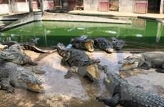 Cà Mau: Cá sấu nổi đầu trên sông Tam Giang là thông tin sai sự thật