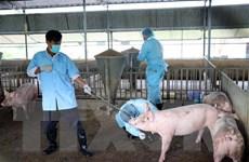 Dịch tả lợn châu Phi tái phát ở nhiều xã thuộc Thanh Hóa, Yên Bái
