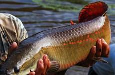 Phát hiện loài cá vùng Amazon chống lại được răng cá ăn thịt Piranha