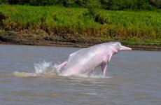 Ô nhiễm thủy ngân đang đe dọa loài cá heo sông Amazon