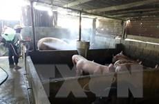 Tạm giam cán bộ xã khai khống dịch tả lợn châu Phi để nhận tiền hỗ trợ