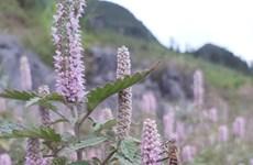 Mật ong bạc hà - đặc sản quý hiếm ở vùng cao nguyên đá Đồng Văn