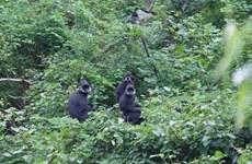 Người dân Quảng Bình tự lập đội bảo vệ loài voọc đen gáy trắng