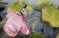 [Photo] Đà Nẵng: Đặc sắc mùa hái 'mứt biển' ở Nam Ô