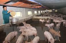 Hưng Yên, Hải Dương và Thái Bình đã hết dịch tả lợn châu Phi