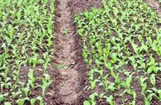Đồng Nai: Hàng chục hộ dân trồng rau sạch bị nợ tiền nhiều tháng
