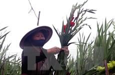 Thị trường hoa tất bật vào mùa phục vụ Tết Nguyên đán