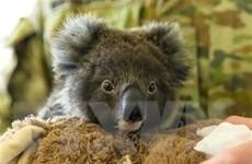Hơn 100 loài động vật cần hỗ trợ khẩn cấp sau cháy rừng ở Australia