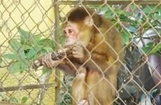 Quảng Bình: Người dân tự nguyện giao nộp cá thể khỉ mặt đỏ quý hiếm
