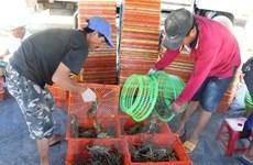 Phú Yên: Thông tin tôm hùm rớt giá sốc là chưa chính xác