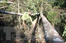 Lâm Đồng: Bắt quả tang ba đối tượng đang cưa hạ hàng loạt cây rừng