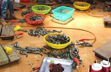 Xử lý 1 đối tượng thu gom 600kg tôm nguyên liệu có chứa tạp chất