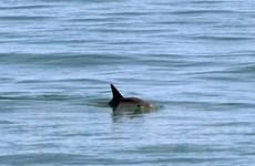 Thanh Hóa: Cá heo nặng gần 1 tạ chết dạt vào bờ biển Hoằng Trường