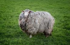 Chú cừu mang bộ lông khổng lồ sau 7 năm 'giãn cách xã hội'