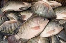 """Nhiễm độc đến suýt mất mạng vì ăn gỏi cá rô phi nhiễm """"tả biển"""""""