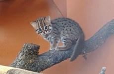Cặp mèo con nhỏ nhất và hiếm nhất thế giới chào đời tại Anh