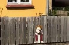 """Chú chó gây sốt mạng xã hội với bộ trang phục """"hoàng gia"""""""