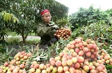 [Photo] Thanh Hà vào vụ thu hoạch vải thiều chín sớm