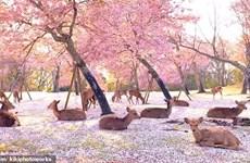 Đàn hươu nằm giữa rừng hoa, cảnh đẹp hiếm có trong mùa COVID-19