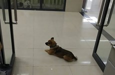 Chú chó đợi suốt 3 tháng ở bệnh viện sau khi chủ qua đời vì COVID-19