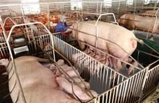 Quảng Nam tập trung hỗ trợ người nuôi lợn tái đàn sau dịch bệnh