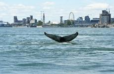 Con cá voi lưng gù từng xuất hiện trên một con sông ở Canada đã chết