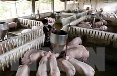 Nguy cơ tái phát dịch tả châu Phi từ lợn giống không rõ nguồn gốc