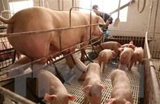 Giá lợn hơi có xu hướng giảm sau khi nhập khẩu lợn sống từ Thái Lan