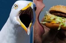 Anh: Người đàn ông cắn chim hải âu vì bị cướp bánh McDonald