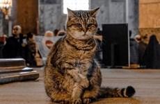 Chuyện về Gli, cô mèo nổi tiếng với phong thái nữ hoàng tại Thổ Nhĩ Kỳ